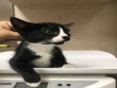 Adopt SHEA a Black & White or Tuxedo Domestic Shorthair / Mixed (short coat) cat