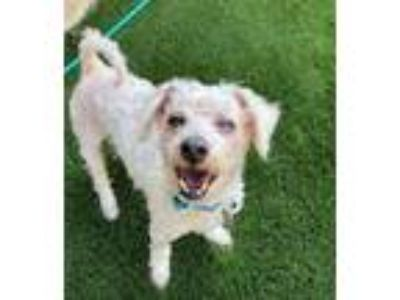 Adopt Jimmy a White Poodle (Miniature) / Mixed dog in Oak Creek, WI (22700661)