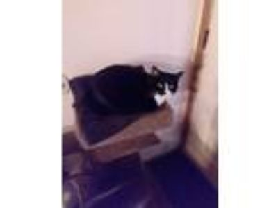 Adopt Tubby a Black & White or Tuxedo Domestic Shorthair / Mixed cat in North