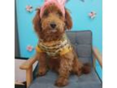 Adopt Annie a Brown/Chocolate Cockapoo / Poodle (Miniature) / Mixed dog in Los