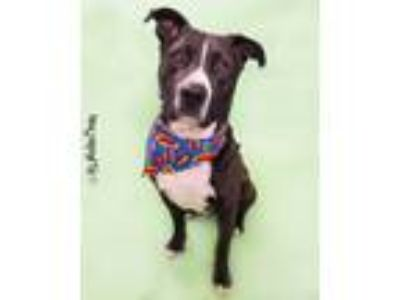 Adopt Hulk a Black - with White Labrador Retriever / American Pit Bull Terrier /