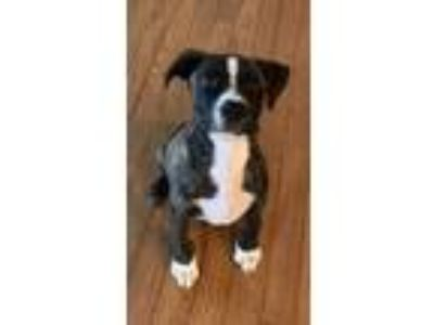 Adopt Major a Brindle - with White American Staffordshire Terrier dog in