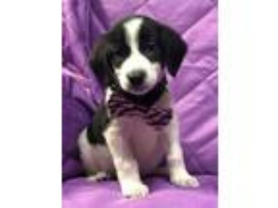 Adopt Domino a Border Collie
