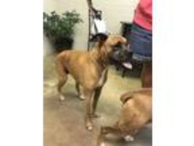 Adopt Daisy a Brown/Chocolate Boxer / Mixed dog in Cleveland, AL (26200380)