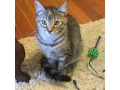 Adopt Zin a Domestic Short Hair