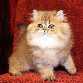 golden tabby persian male - cfa reg