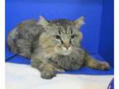 Adopt Croker a Brown or Chocolate Domestic Longhair / Domestic Shorthair / Mixed