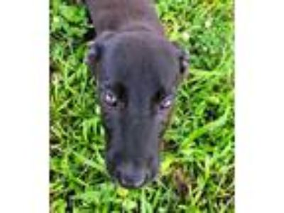 Adopt Maria a Black Labrador Retriever / Shepherd (Unknown Type) / Mixed dog in