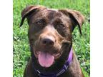 Adopt Lucy a Brown/Chocolate Labrador Retriever / Mixed dog in Wenatchee