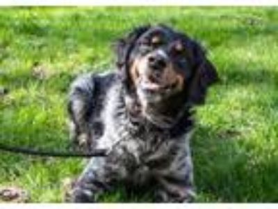 Adopt Charlie a Black Spaniel (Unknown Type) / Mixed dog in Oak Pak