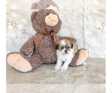 Peke-A-Poo PUPPY FOR SALE ADN-131025 - Tesla The Pekapoo