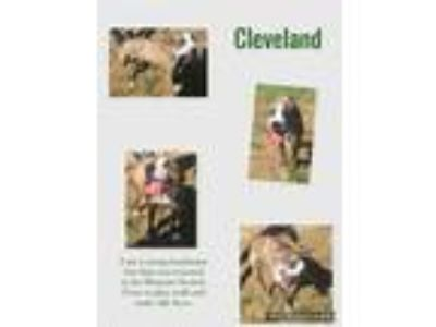 Adopt Cleveland a Brindle - with White Shepherd (Unknown Type) / Pit Bull