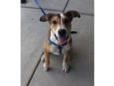 Adopt Denver a White - with Tan, Yellow or Fawn Collie / German Shepherd Dog /