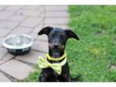Adopt Fannie a Labrador Retriever, Terrier