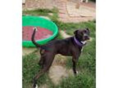Adopt Zues a Black American Pit Bull Terrier / Mixed dog in Galveston