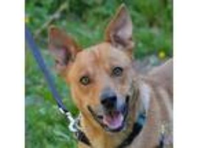 Adopt Tyrion a Shepherd (Unknown Type) / Mixed dog in Santa Rosa, CA (25366058)