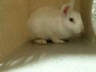 Adopt BUN AFFLECK a White Other/Unknown / Mixed rabbit in Denver, CO (25927901)