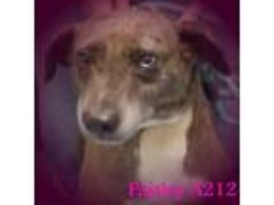 Adopt Paisley a Catahoula Leopard Dog, Australian Cattle Dog / Blue Heeler