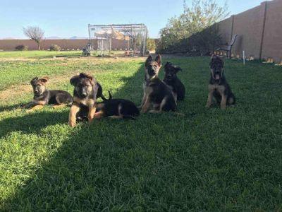German Shepherd Dog PUPPY FOR SALE ADN-72875 - German Shepherd Dog Puppies