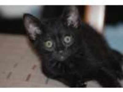 Adopt Bitty Bat a All Black Domestic Shorthair (short coat) cat in Parlier