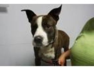 Adopt Skid a Pit Bull Terrier