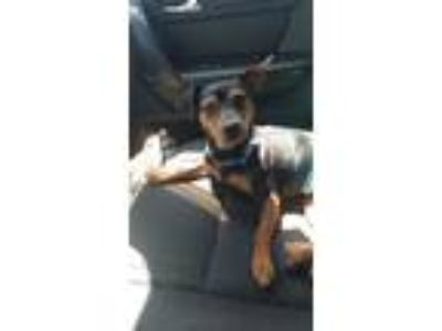 Adopt Pepe a Black - with Tan, Yellow or Fawn Miniature Pinscher / Mixed dog in