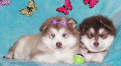 REAFW M\F AKC Alaskan Malamute Puppies
