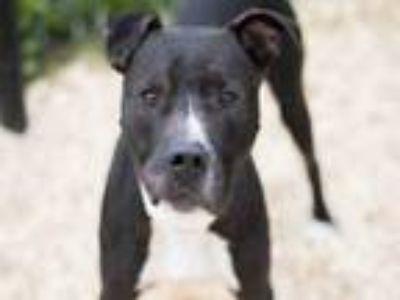 Adopt Charlie (black and white) a Pit Bull Terrier, Labrador Retriever