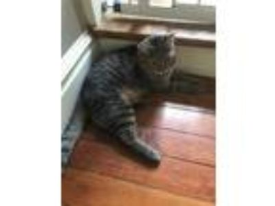 Adopt Evelyn a Gray, Blue or Silver Tabby Domestic Shorthair (short coat) cat in