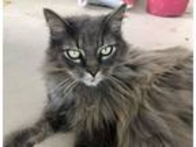 Adopt Darlin a Gray or Blue (Mostly) Maine Coon (long coat) cat in West Palm