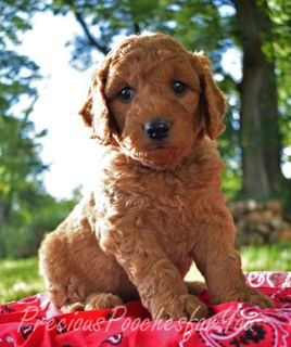 Poodle (Miniature)-Goldendoodle Mix PUPPY FOR SALE ADN-93684 - F1B Goldendoodle Brody