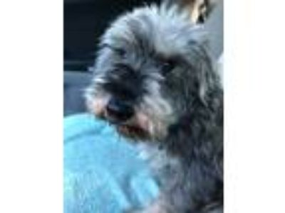 Adopt Baxter a Gray/Silver/Salt & Pepper - with White Schnauzer (Miniature) dog