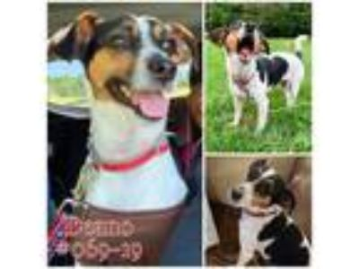 Adopt Deano a Tricolor (Tan/Brown & Black & White) Jack Russell Terrier / Mixed