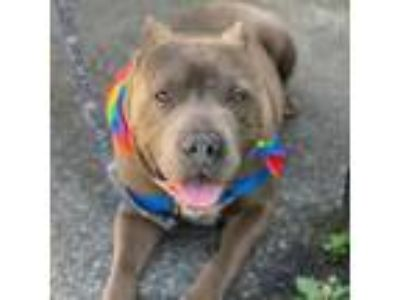 Adopt King a Pit Bull Terrier, Mixed Breed