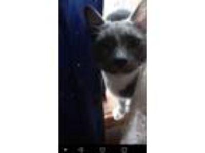 Adopt Bones a Gray or Blue American Shorthair / Mixed cat in Michigan City