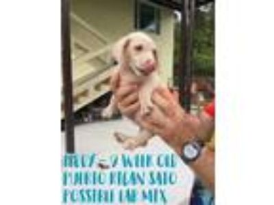 Adopt Teddy a Labrador Retriever