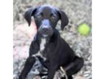 Adopt Infiniti a Labrador Retriever, Mixed Breed