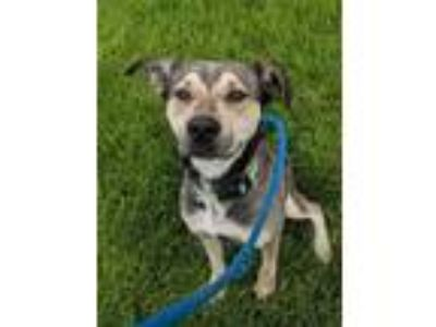 Adopt Forest a Husky / German Shepherd Dog / Mixed dog in Johnston
