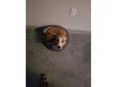 Adopt Scout a Tan/Yellow/Fawn - with White Australian Shepherd / Carolina Dog /