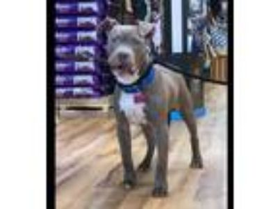Adopt Rook a Pit Bull Terrier / Mixed dog in Boston, MA (25582750)
