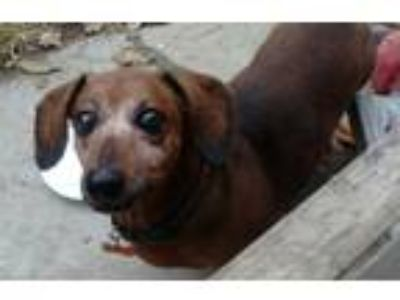 Adopt Rascal a Red/Golden/Orange/Chestnut Dachshund / Mixed dog in Georgetown
