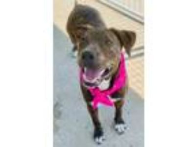 Adopt Bella Rose a Black American Pit Bull Terrier / Shepherd (Unknown Type) /