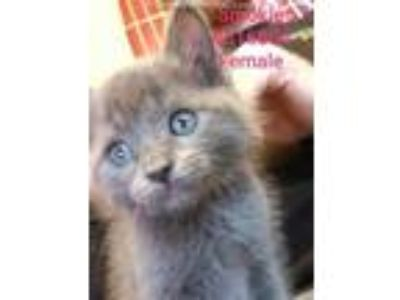 Adopt SMOKIE a Gray or Blue Domestic Shorthair / Mixed (short coat) cat in
