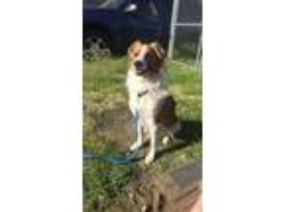 Adopt Petrie Pete a Tricolor (Tan/Brown & Black & White) Border Collie /