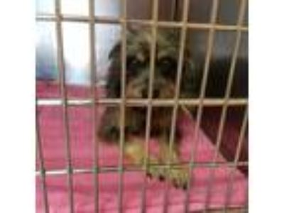 Adopt Bruce a Wirehaired Terrier