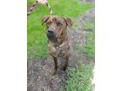 Adopt Rooster a Brindle Shepherd (Unknown Type) / Hound (Unknown Type) / Mixed
