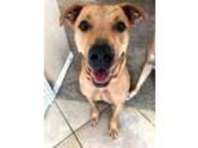 Adopt Riley a Tan/Yellow/Fawn American Staffordshire Terrier / Mixed dog in