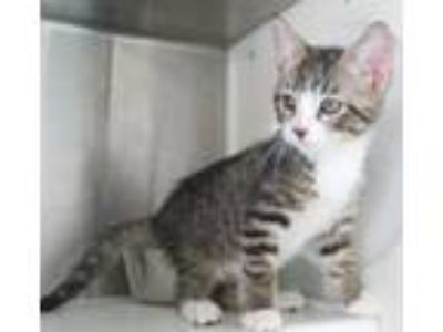 Adopt Zeus a Brown Tabby Domestic Shorthair / Mixed (short coat) cat in