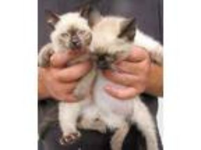 Adopt Chip and Kip a Siamese