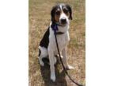 Adopt Skyther a Tricolor (Tan/Brown & Black & White) Border Collie / Coonhound
